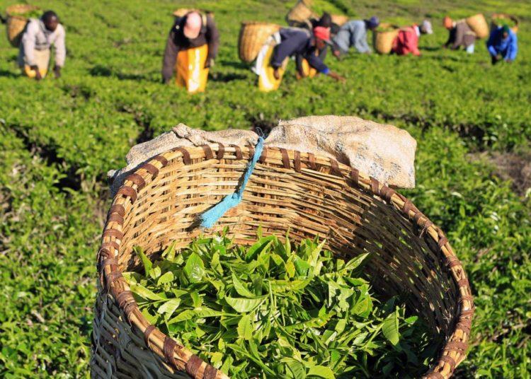 Kampuni yajikita kuleta mageuzi kilimo cha chai