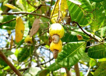 Korosho ni mapatano-Manyanya